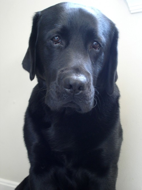 Black Lab Sadface